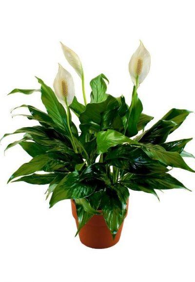 Planta Spathiphyllum de regalo para entregar en Vitoria-Gasteiz