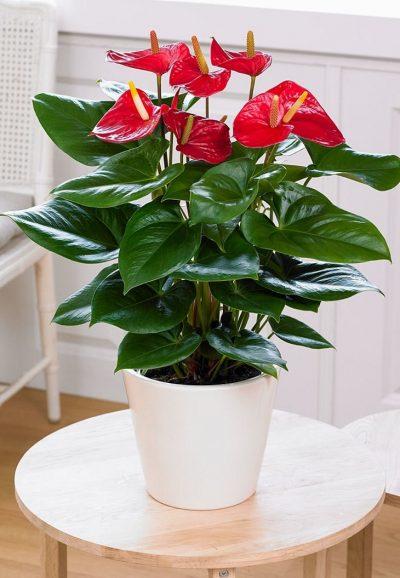 Enviar Planta Anthurium