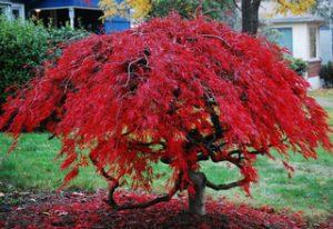 Árbol típico de Japón - El arce - Flores en REd