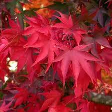 Hoja típica del Arce en otoño - Flores en Red