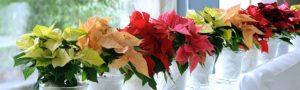 Decoración floral Flores de Pascua - Poinsettias - Flores en Red - Vitoria - Enviar flores de pascua