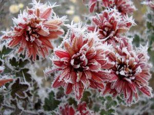Crisantemos helados, Flores en Red, envio urgente flores, flores Vitoria Gasteiz, flores cumpleaños
