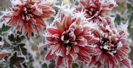 crisantemo helado