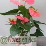 Planta Anthurium Rosa