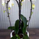 Composición Phalaenopsis