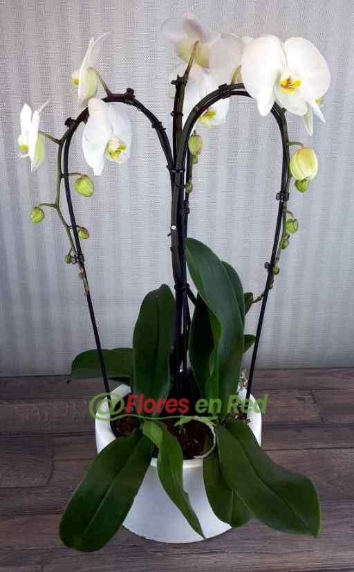 Enviar Phalaenopsis
