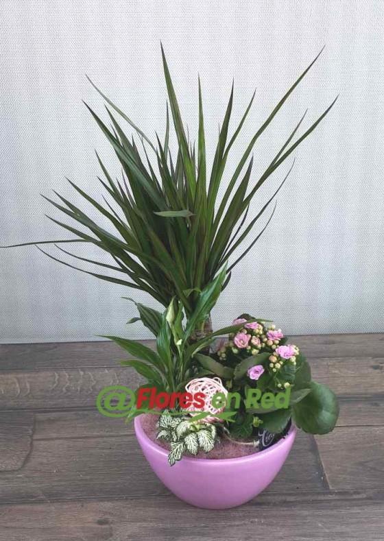 Regalar Composición de Plantas en Base Rosa