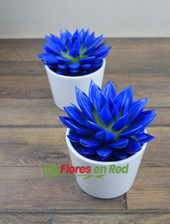 Echeveria Azul