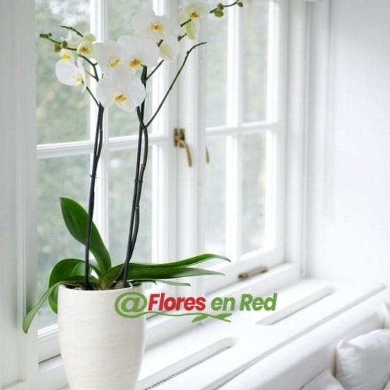 enviar flores floristeria. Orquídea Blanca Plantas Vitoria