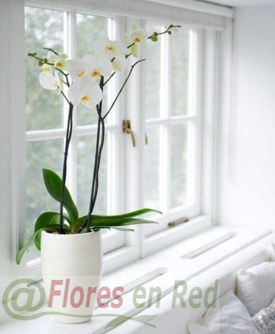 Orquídea Blanca Plantas Vitoria