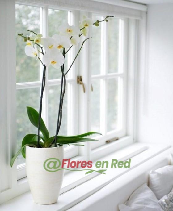 Flores, Orquídeas, Floristerías Vitoria, Enviar Orquídeas, Enviar plantas, Plantas a domicilio, Regalar plantas, Orquídea blanca, Envío de plantas, Plantas regalo