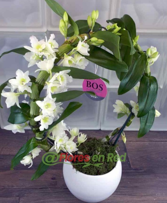 Enviar Orquídea Dendobrium