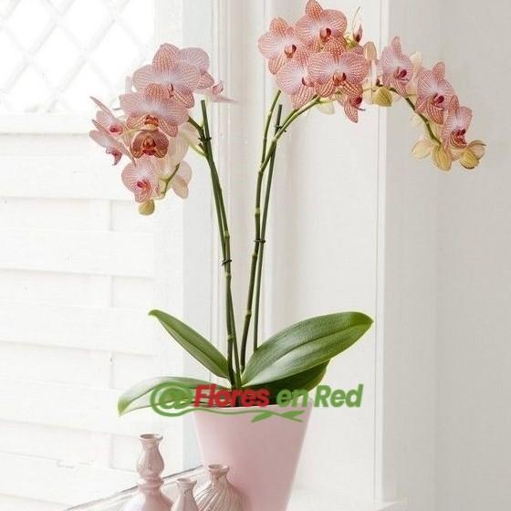regalar flores en vitoria. Orquídea Rosa 2 Tallos