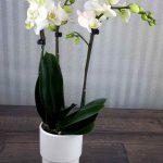 Phalaenopsis mini Blanca