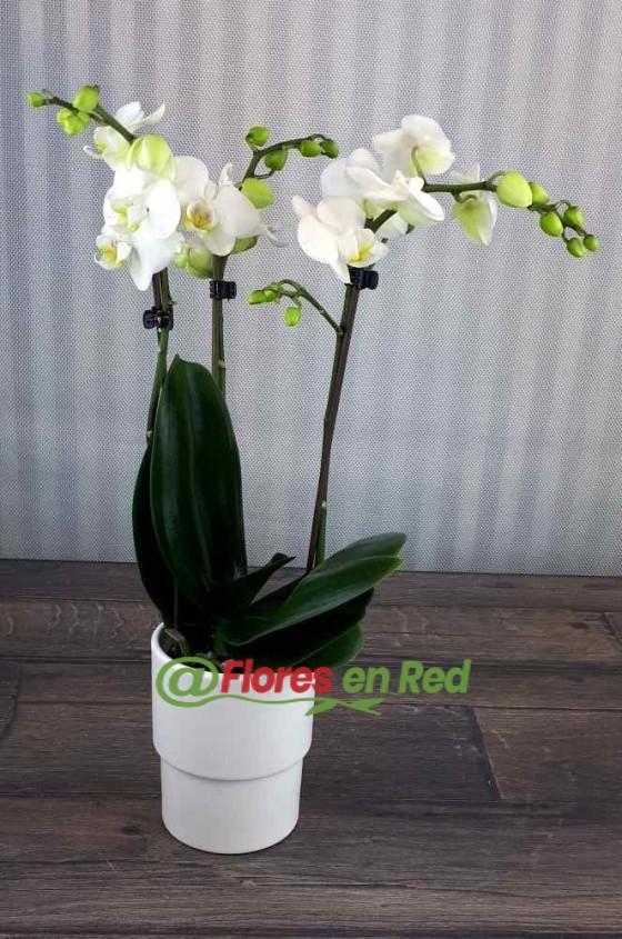 Enviar Phalaenopsis Mini