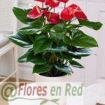Planta de Anthurium Rojo