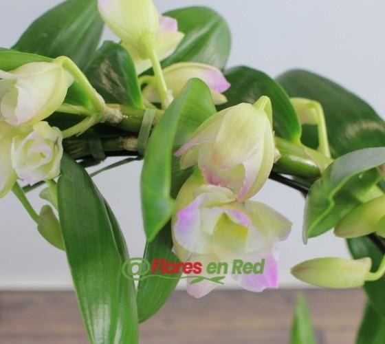 Planta Dendrobium