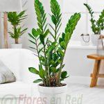 Planta Zamioculca Floristería Vitoria