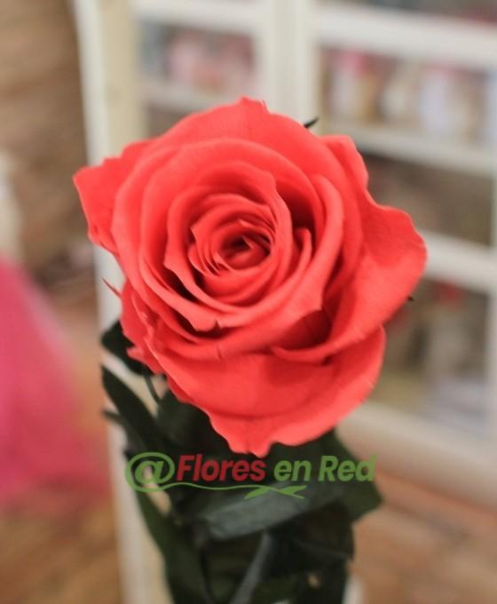 Rosa Eterna Rosa Oscuro