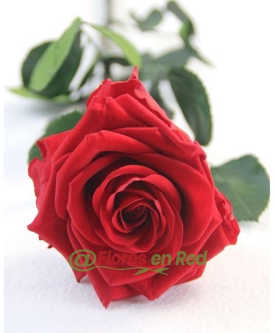 Regalar Rosa Preservada Eterna