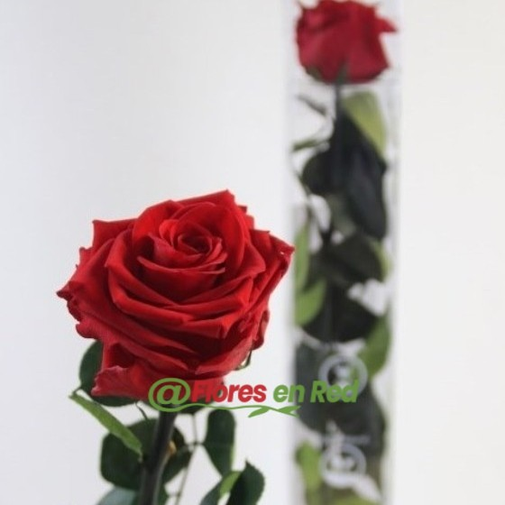 Rosas Preservadas Rojas