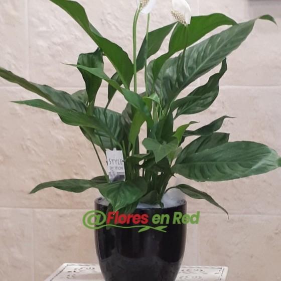 Planta de Spathiphyllum