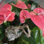 anthurium-cristal-floristeria.jpg