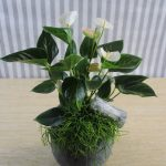 Anthurium Planta Grasa