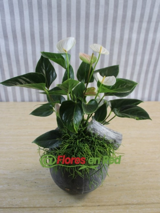 Anthurium Planta Grasa en Vitoria