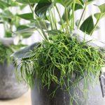 Anthurium Planta Grasa en tiesto