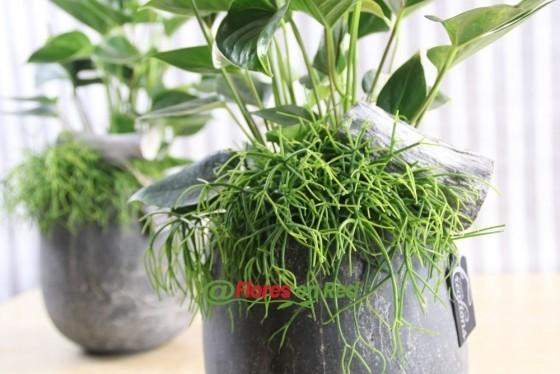 Anthurium Planta Grasa Blanca en tiesto
