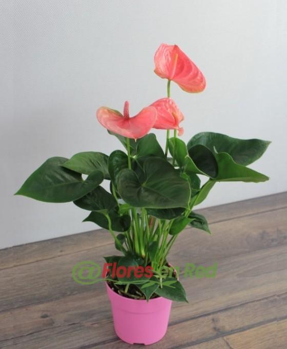 Anthurium en planta