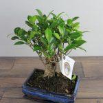 bonsai-pequeño-vitoria