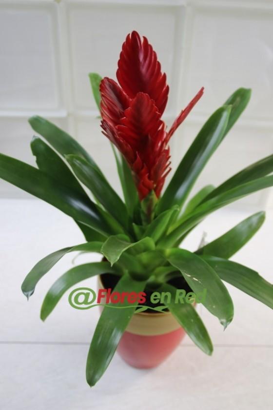Bromelia de Color Rojo Fuego en Base Cerámica