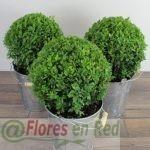 Buxus redondo