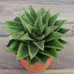 cactus planta