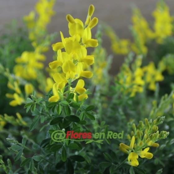 Detalles de La Flor Amarilla del Cytisus