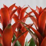 Grupo de Guzmanias Rojas en Flor