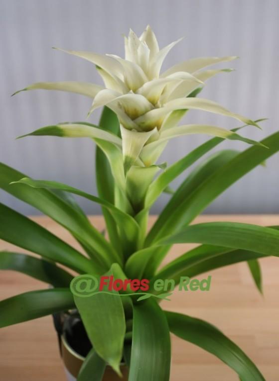 Plantas de Bromelia Blanca