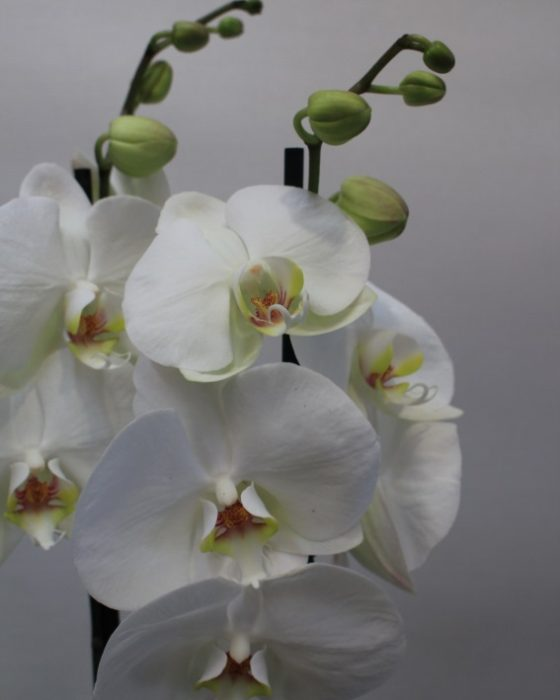 Flor de Orquídea Blanca al Detalle