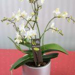 Orquidea ramificada