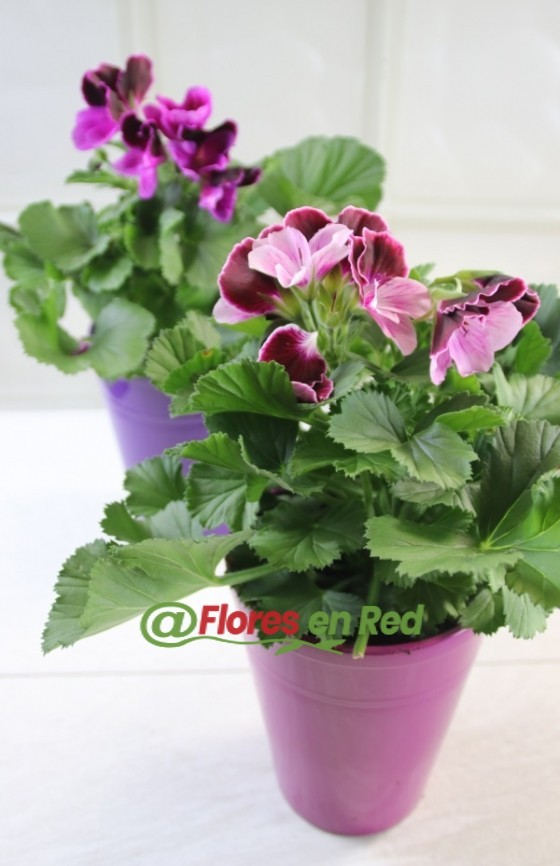 Pelargonium Rosa en Base Cerámica Rosa