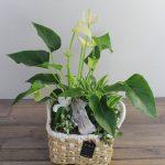planta-anthurium-cesta-mimbre