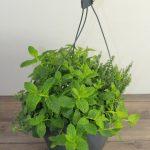 planta-aromatica-vitoria