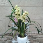Planta Cymbidium