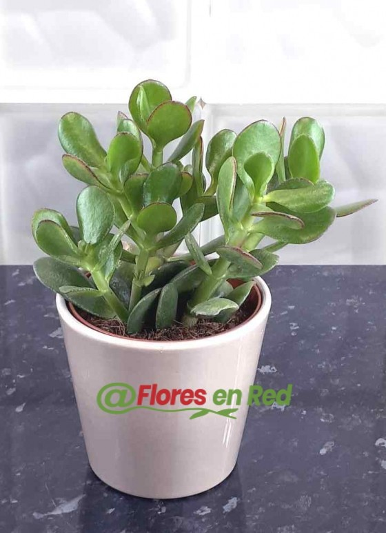 Enviar Planta Grasa Verde Natural