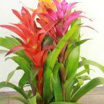 planta-guzmania-colores