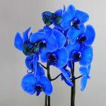 Planta Orquídea Azul