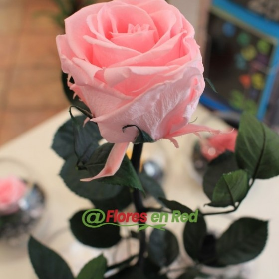 Rosa Preservada Violetero