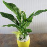 Spathiphyllum en Base Amarilla